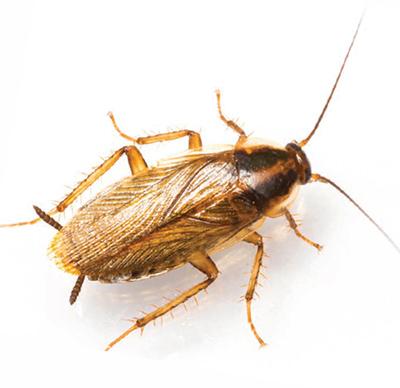 Conckroach Control