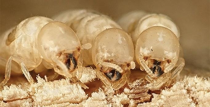 Termites in Derbyshire?